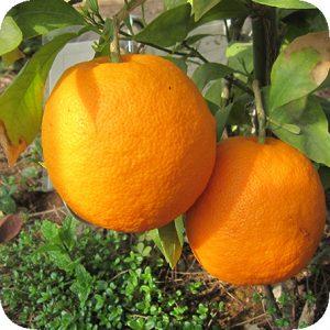オレンジ・ビター